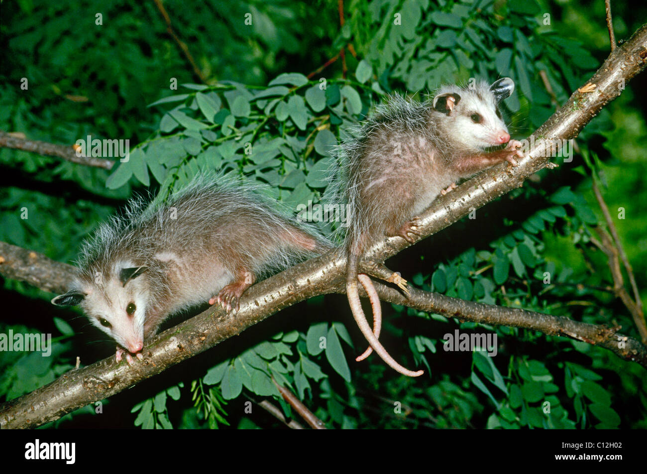 Two baby opossums (Didelphis marsupialis) from the same litter on a tree branch with tails linked in June, USA - Stock Image