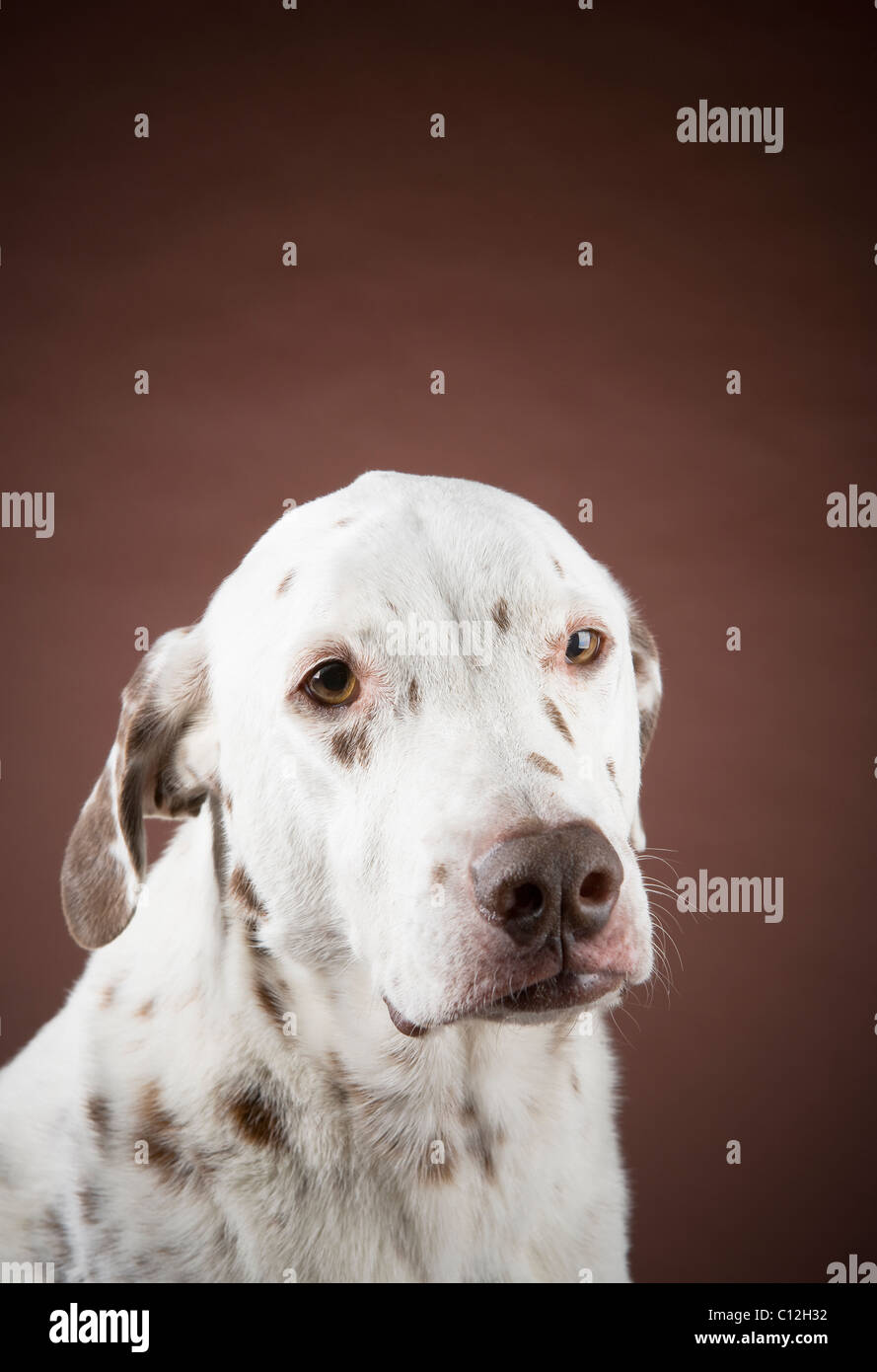 Portrait of a liver spotted dalmatian against a brown background. - Stock Image