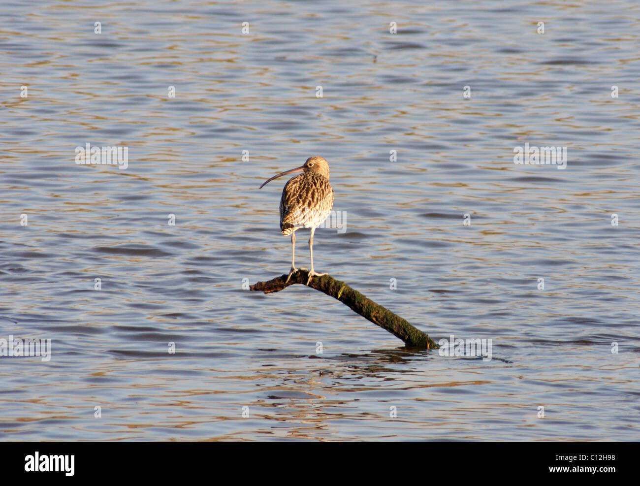 Curlew resting on branch, Teifi Marshes, Pembrokeshire, Wales, United Kingdom Stock Photo