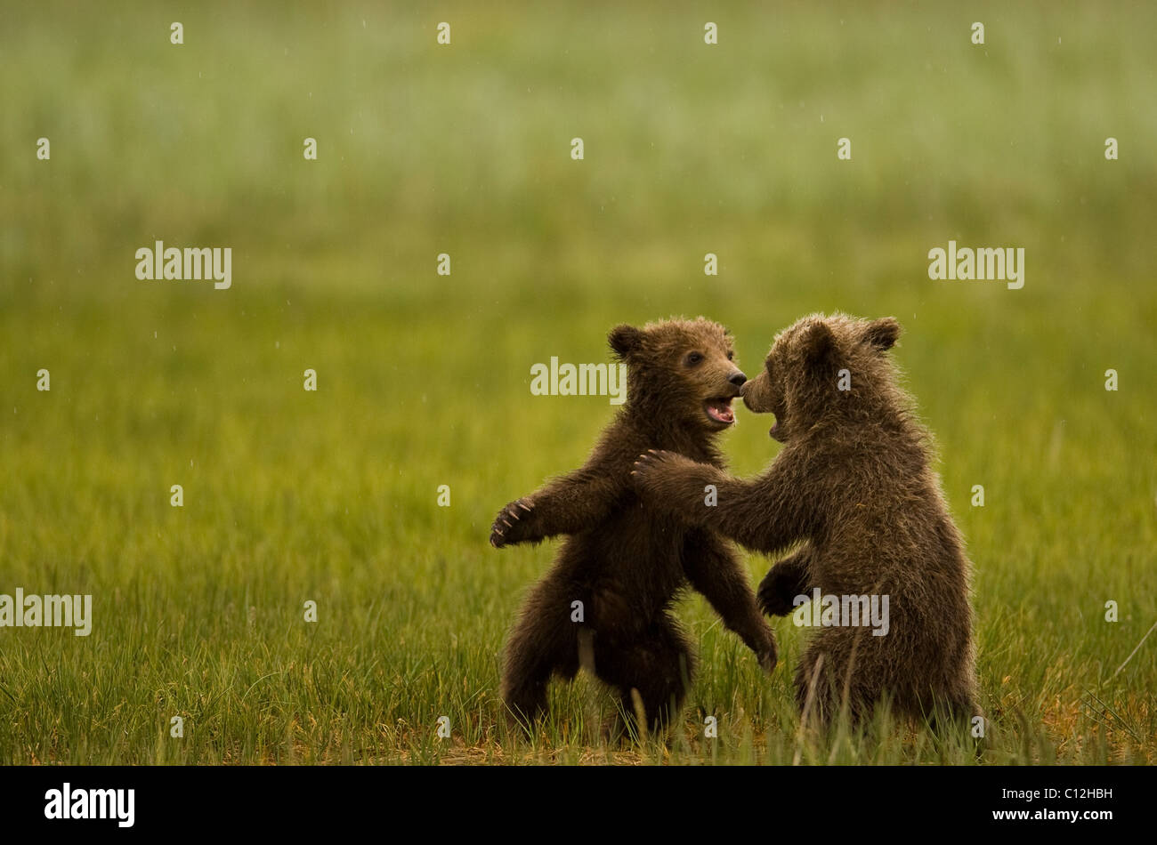 Grizzly  bear cubs play in a coastal meadow. - Stock Image