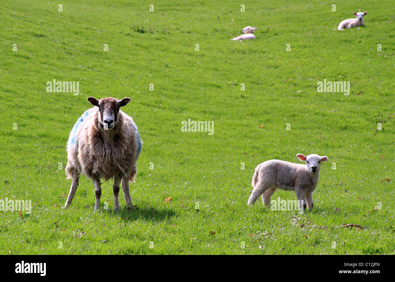 Ewe and Lamb, Shropshire, England, Europe - Stock Image