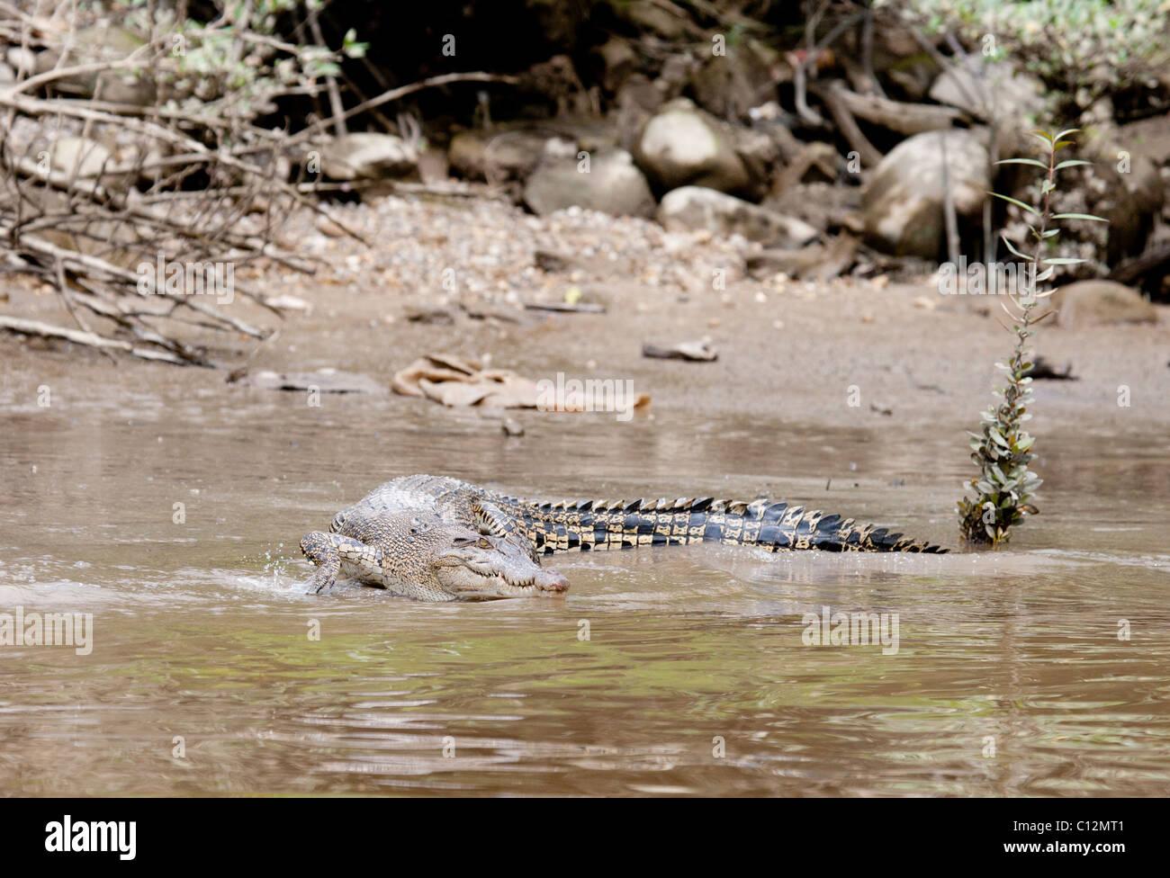 Salt Water Crocodile - Stock Image