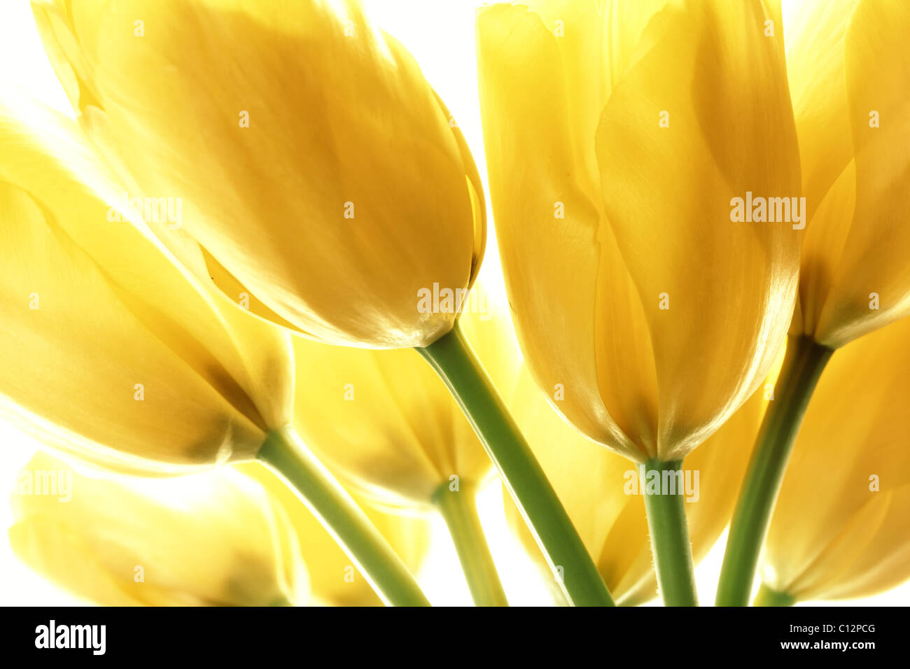 Yellow tulips isolated on white background - Stock Image