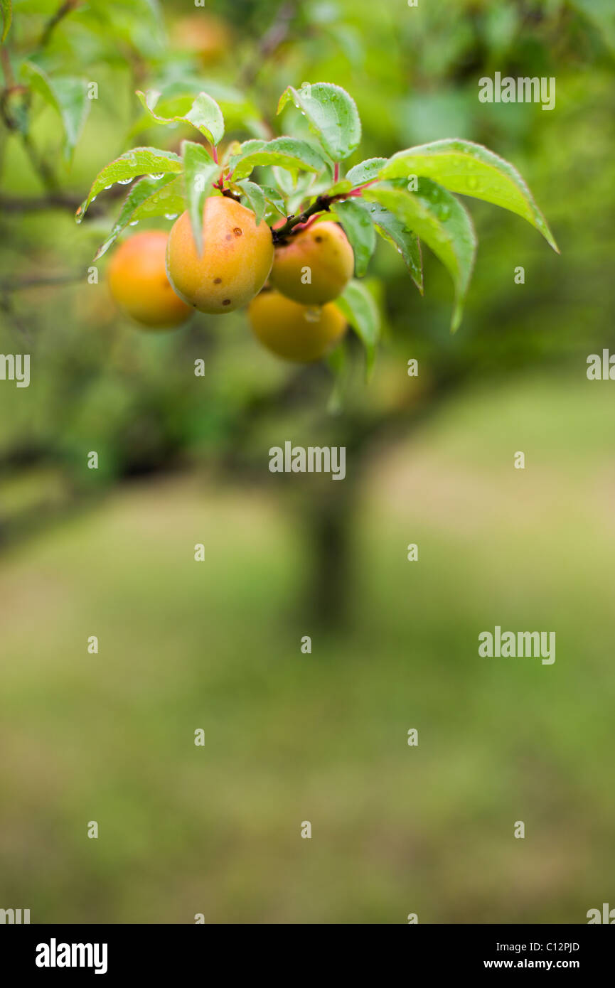 Ume (prunus mume) plums or Japanese apricot ripening in the rainy season in the Kanto area of Japan. - Stock Image