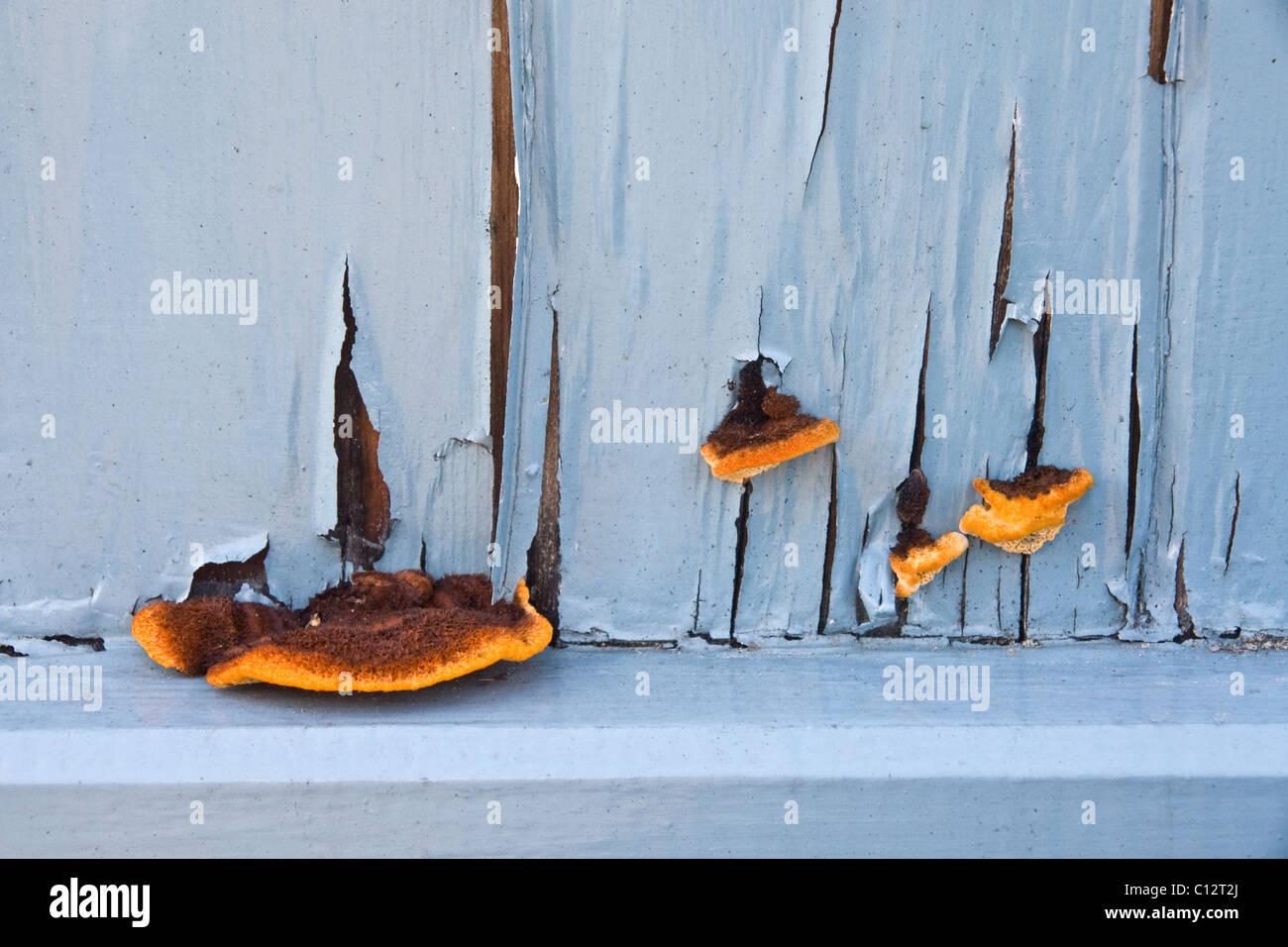 Fungi (GloeoOphyllum sepiarium) Conifer mazegill, growing amid the peeling paint on a neglected garden gate in England. - Stock Image