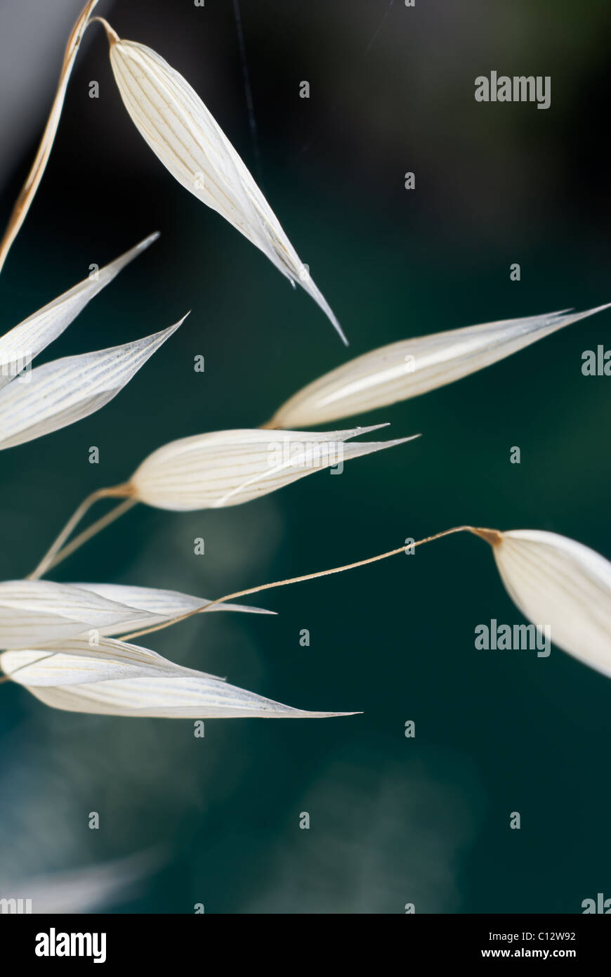 Ornamental grass, Granda, Andalusia, Spain - Stock Image