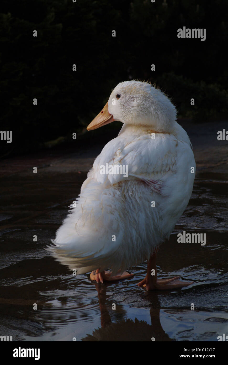 Puddle duck - Stock Image