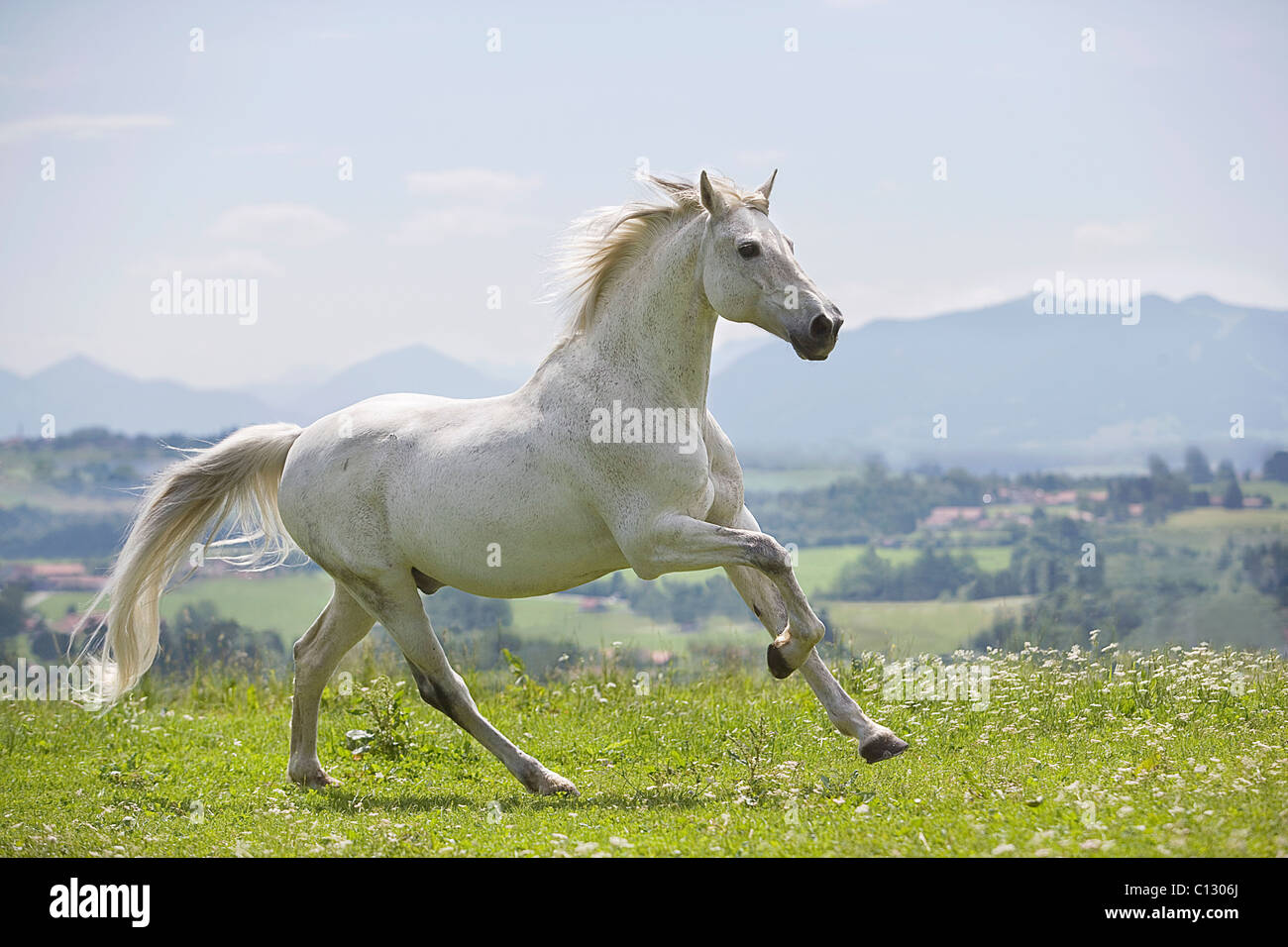 white horse running on meadow - Stock Image