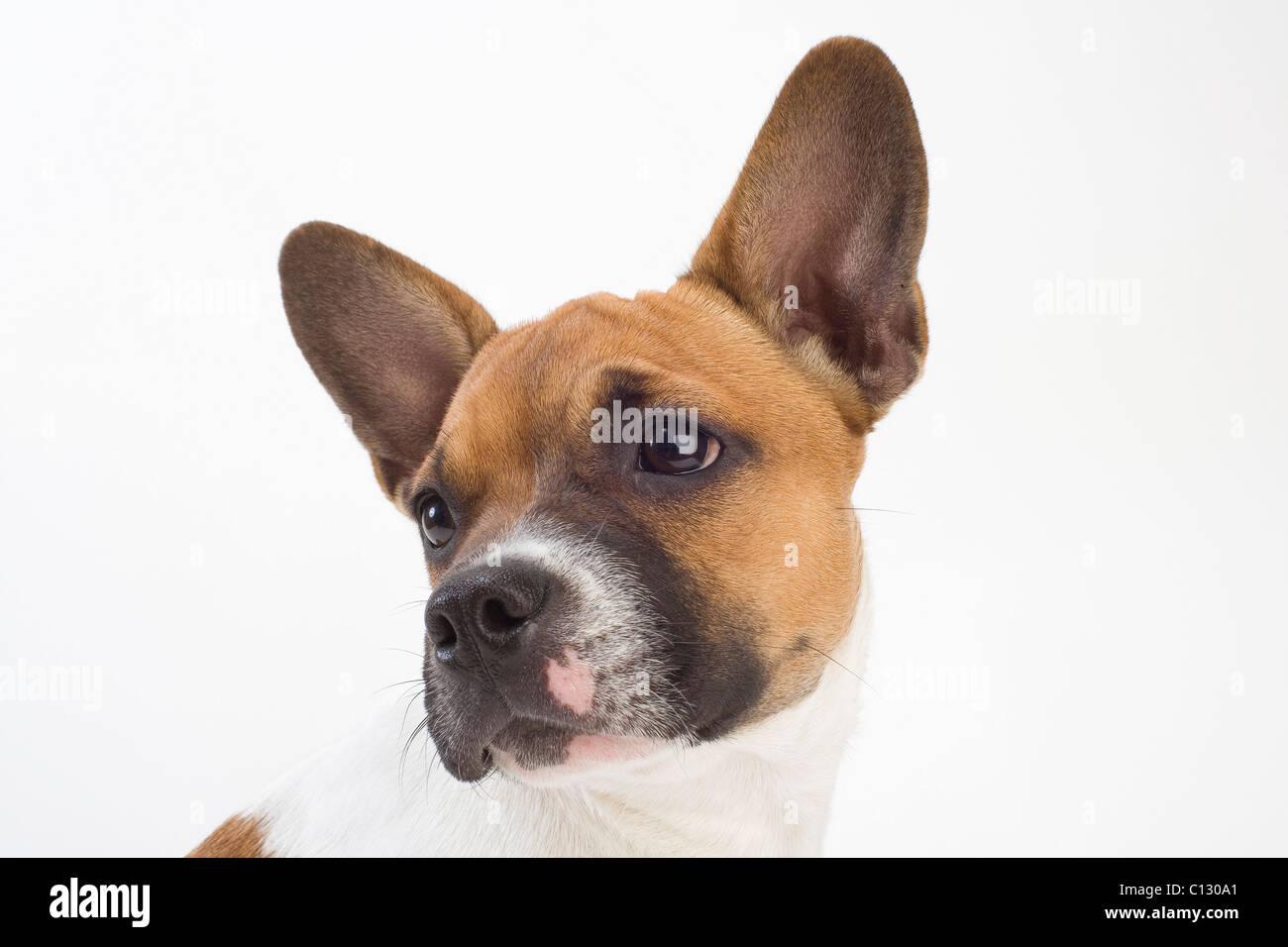 portrait of mongrel puppy - Stock Image