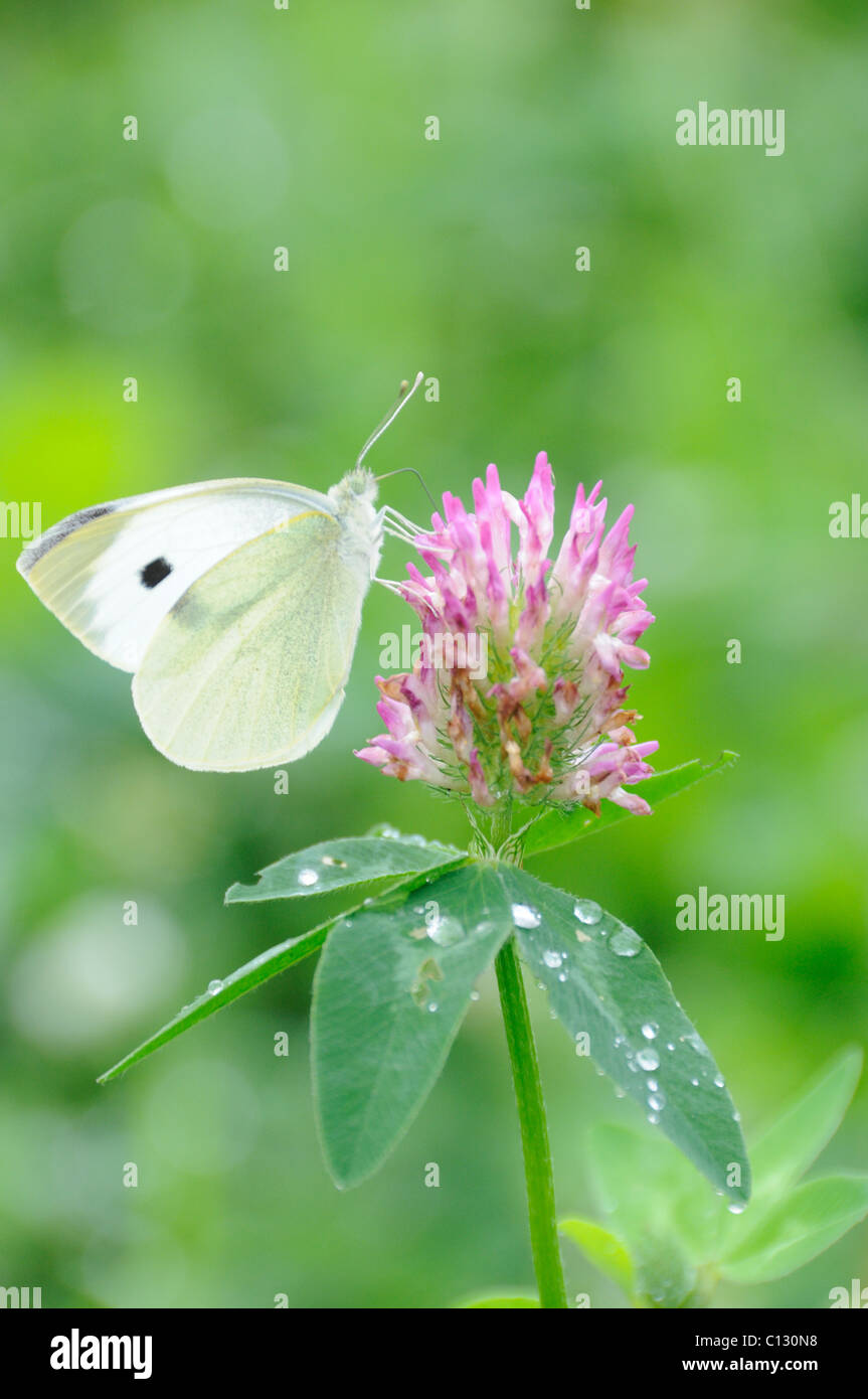 Butterfly on clover flower - Stock Image
