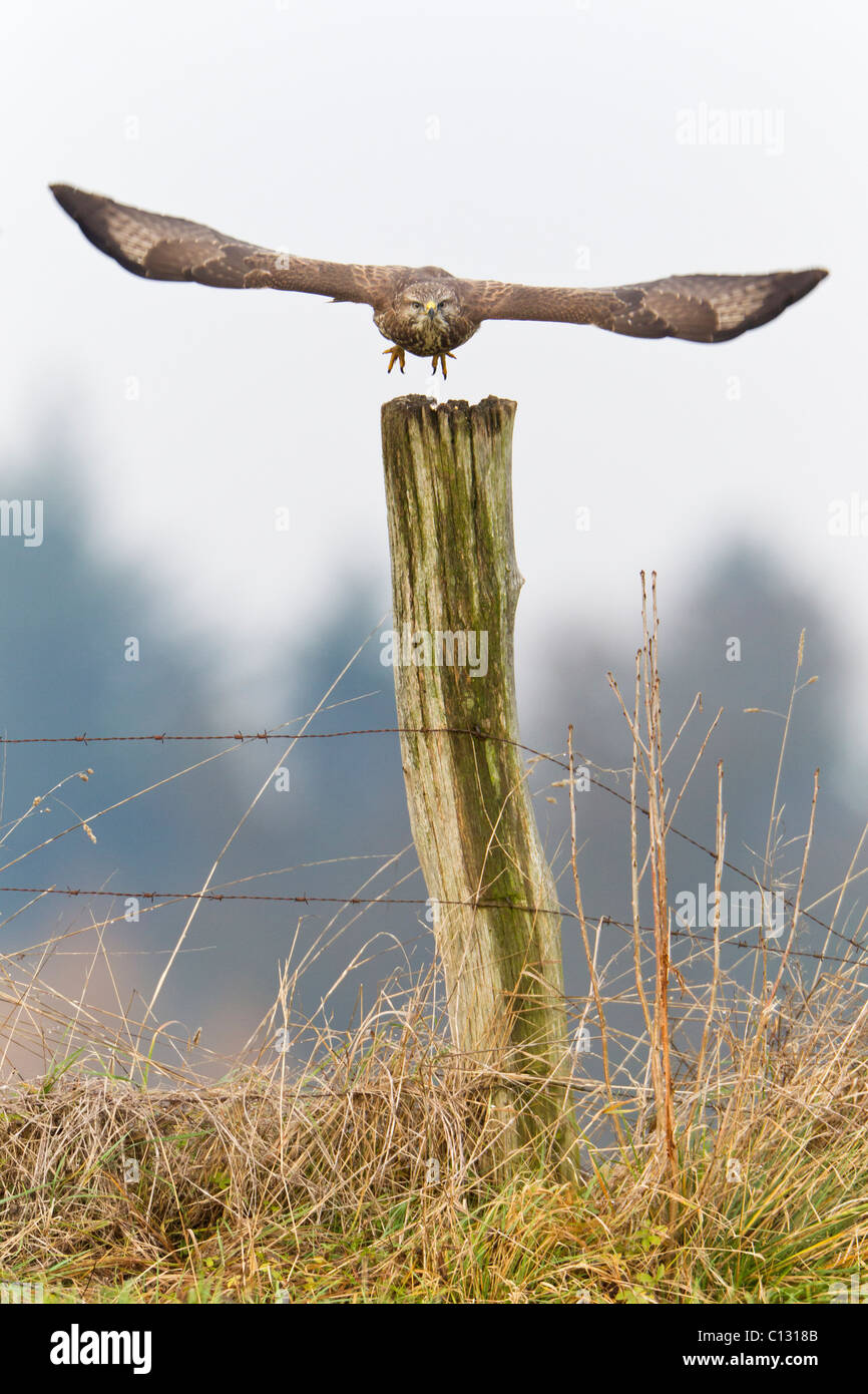 Common Buzzard (Buteo buteo), taking off from fence post - Stock Image