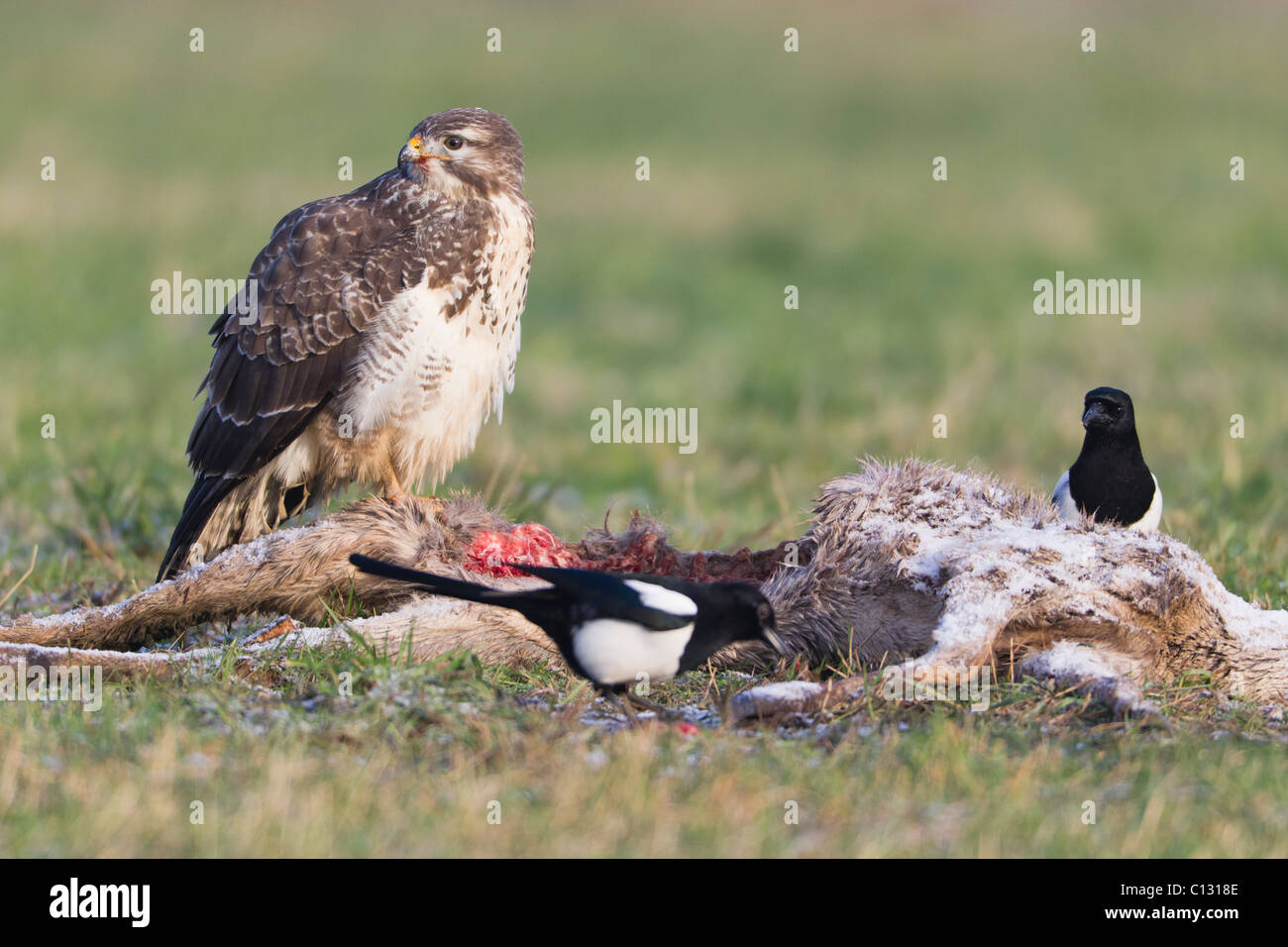 Common Buzard (Buteo buteo) and Common Magpies (Pica pica), scavenging on deer carcass, winter - Stock Image