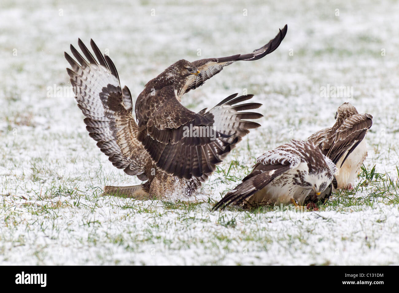 Common Buzzard (Buteo buteo), four fighting over food in winter - Stock Image