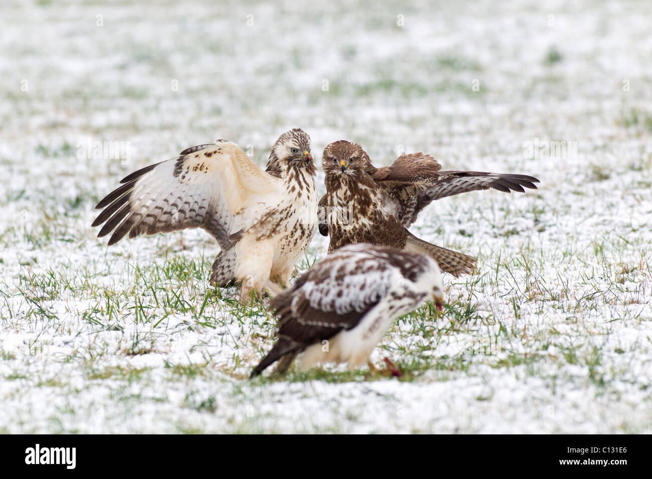Common Buzzard (Buteo buteo), three fighting over food in winter - Stock Image