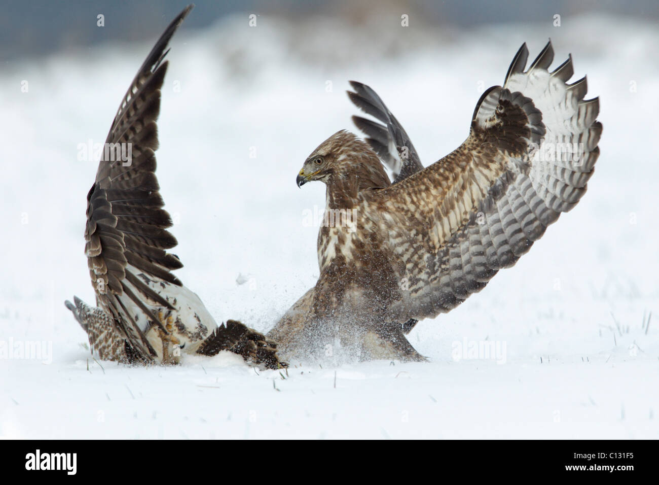 Common Buzzard (Buteo buteo), two fighting over food in winter - Stock Image