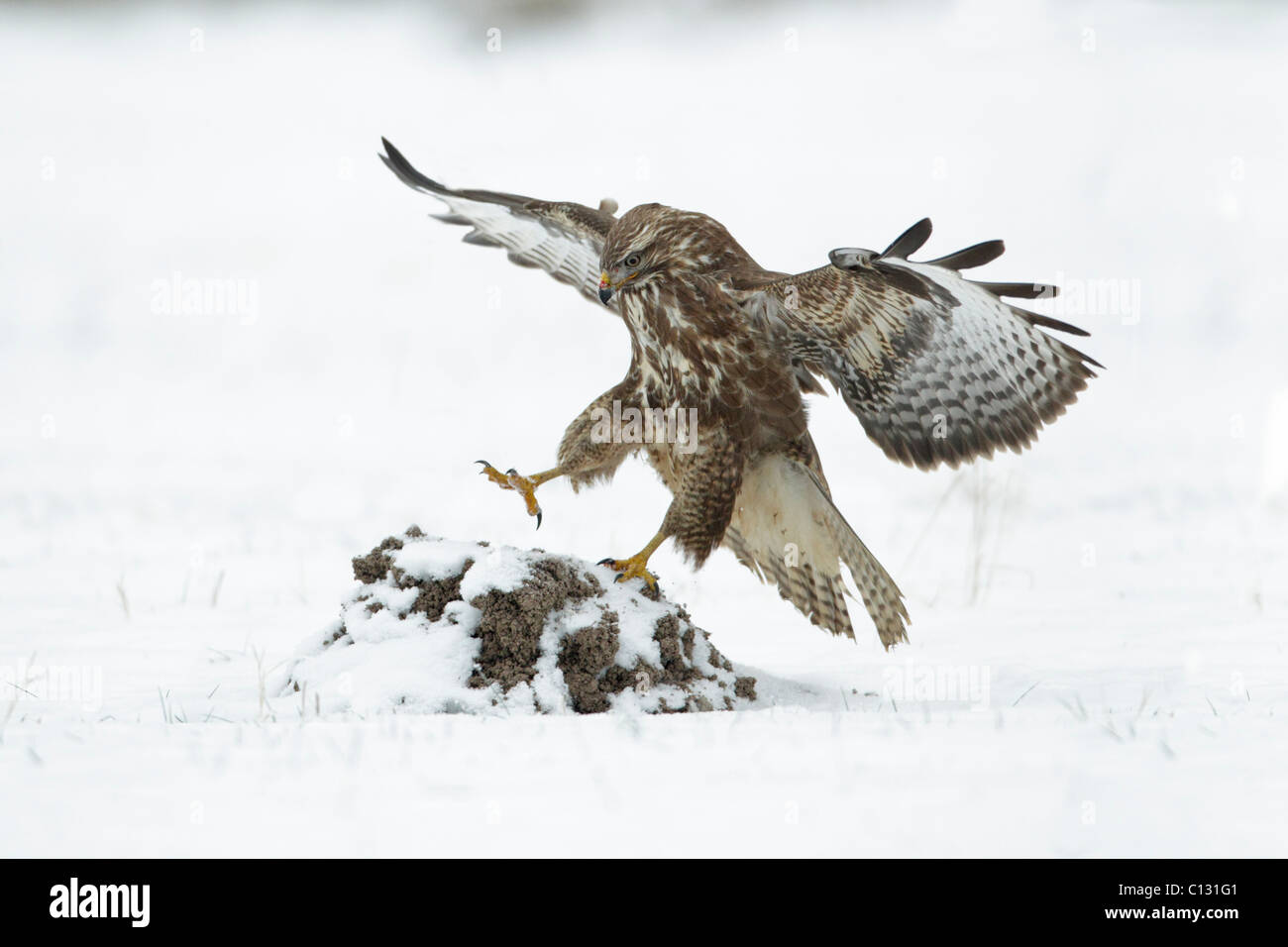 Common Buzzard (Buteo buteo), in flight landing on snow covered mole hill - Stock Image
