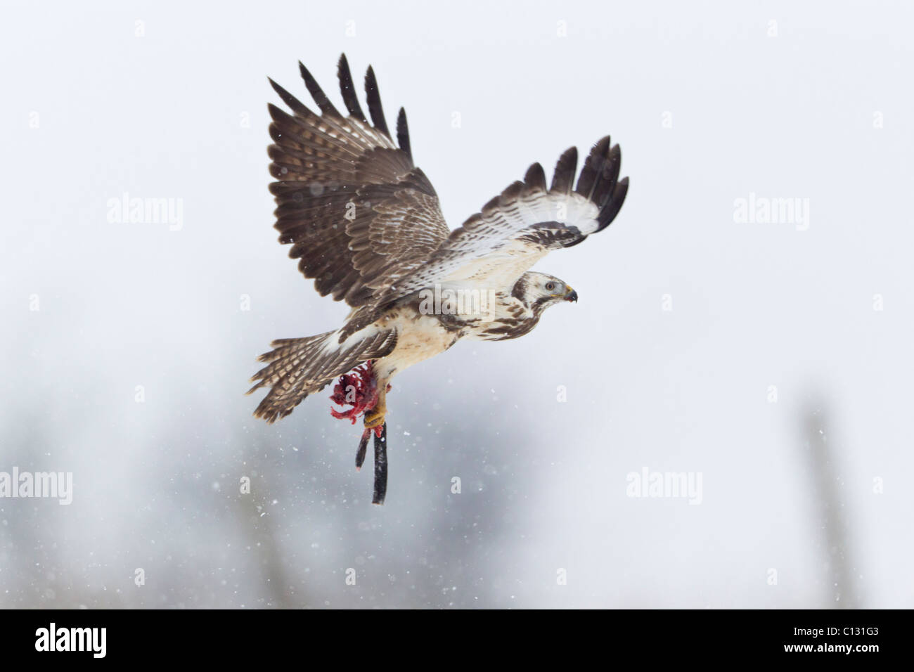 Common Buzzard (Buteo buteo), in flight, carrying prey in talons - Stock Image