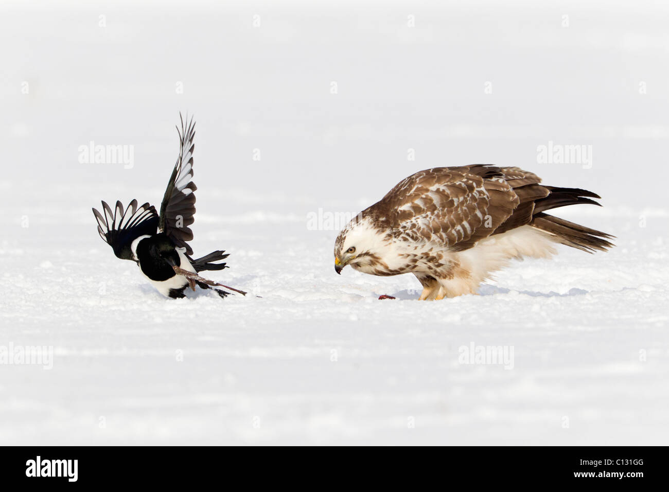 Common Buzzard (Buteo buteo), feeding on carrion, being harassed by Common Magpie (Pica pica) - Stock Image