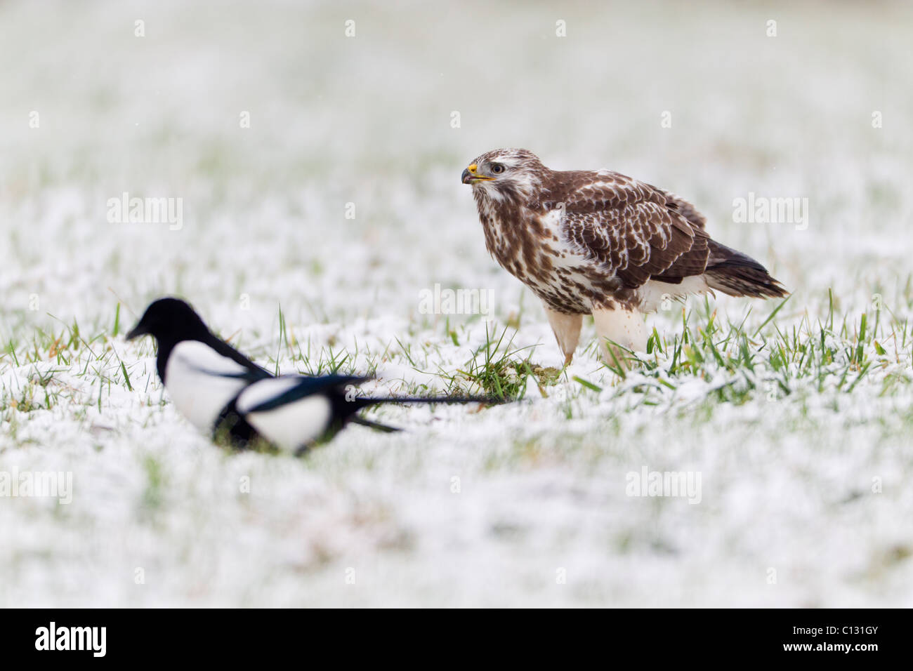 Common Buzzard (Buteo buteo), and Common Magpies (Pica pica), feeding on carrion in snow - Stock Image