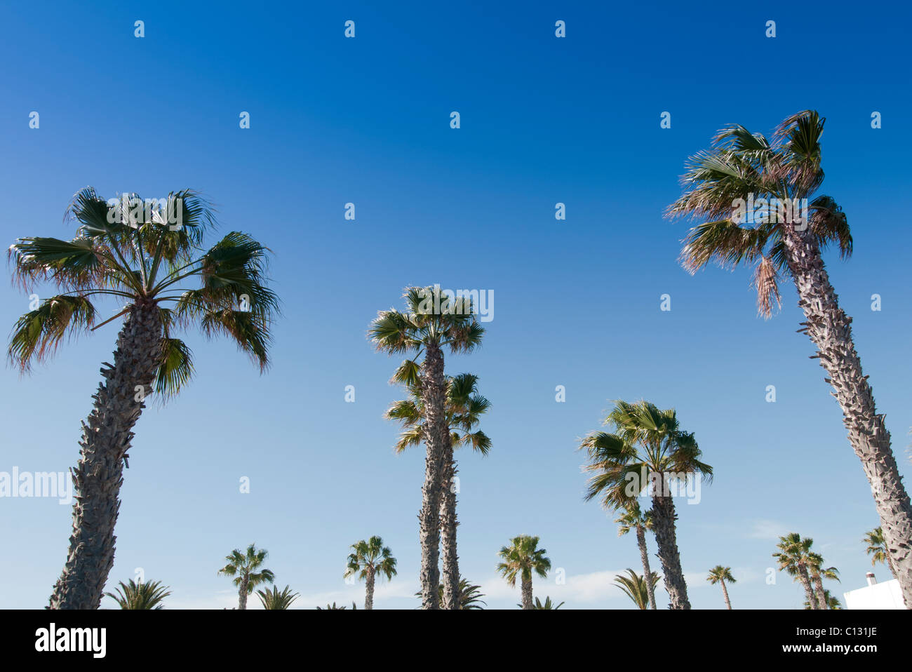 palm trees with bright blue sky. - Stock Image