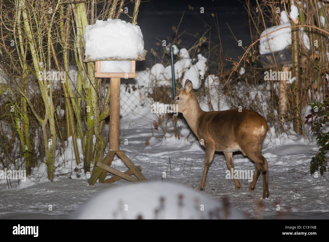 Roe Deer (Capreolus capreolus), in garden at night, searching for food in winter - Stock Image