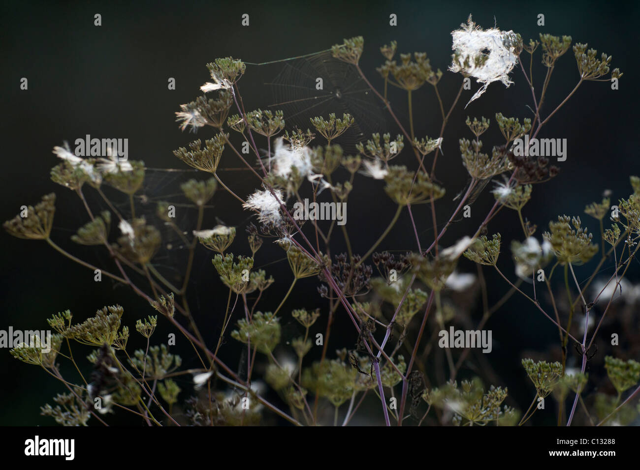 Poison Hemlock (Conium maculatum), seed heads and spider's webs, Lower Saxony, Germany - Stock Image