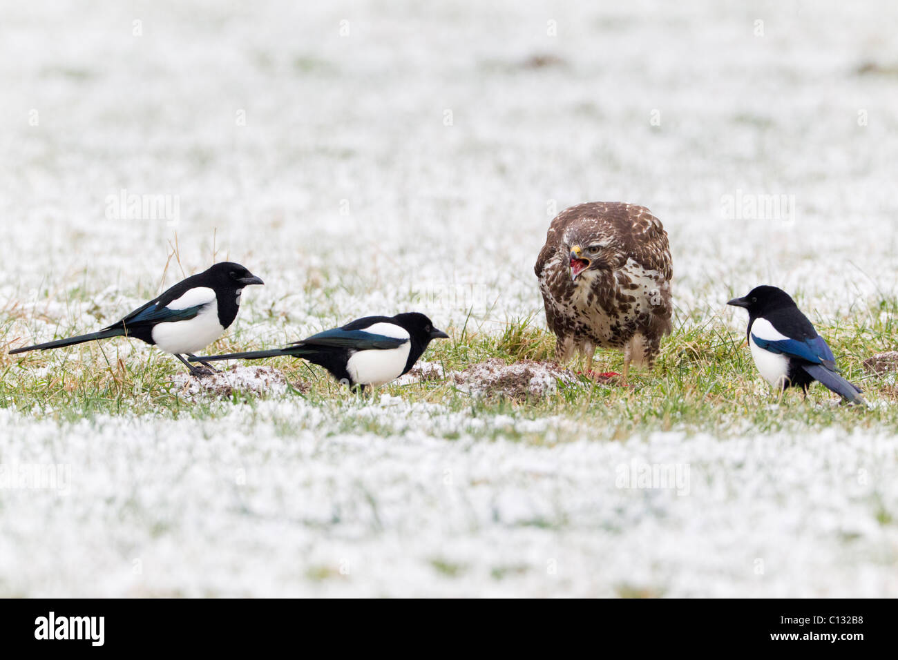 Common Buzzard (Buteo buteo), feeding on carrion and being harassed by Common Magpies (Pica pica) - Stock Image