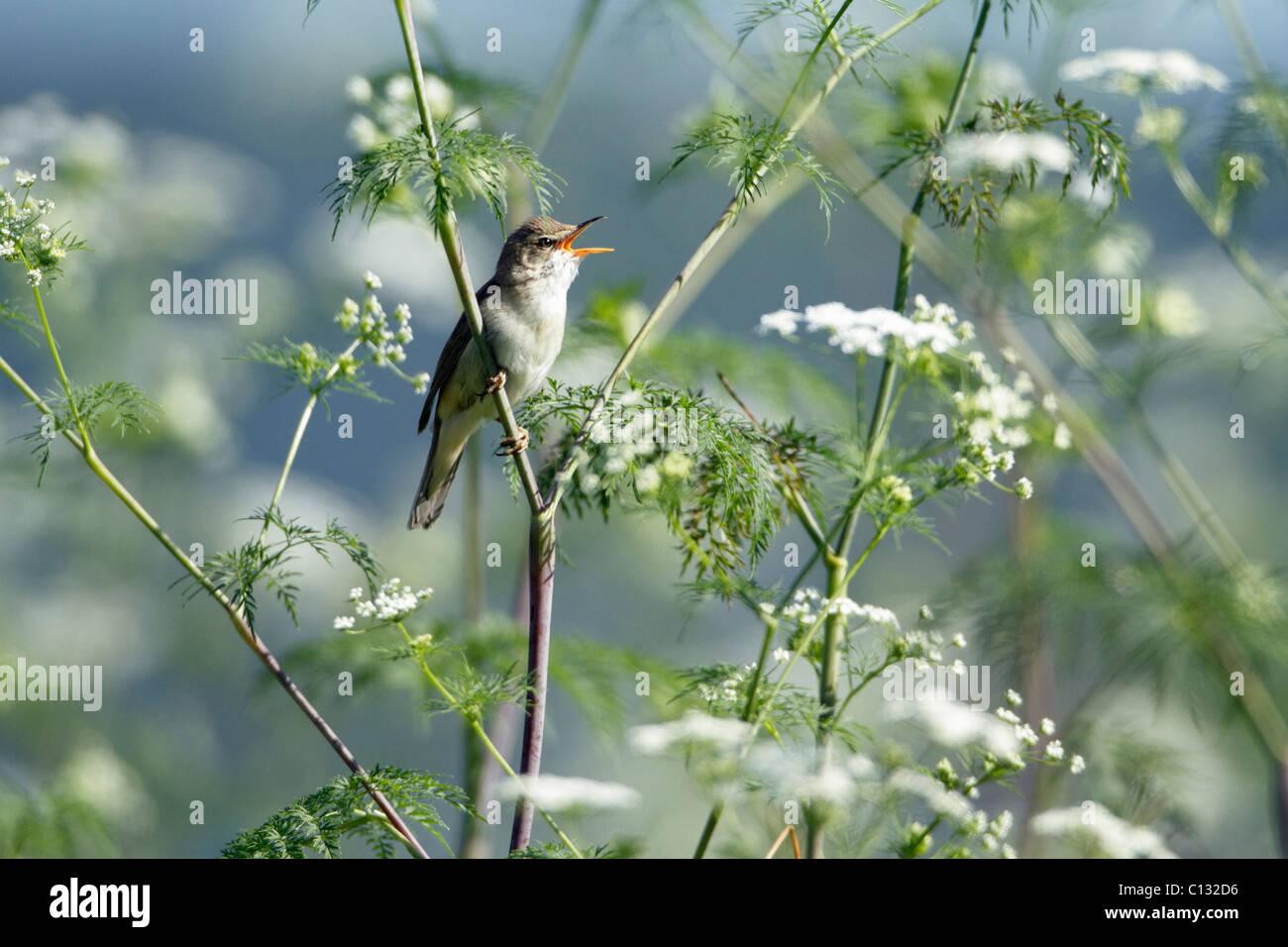 Marsh Warbler (Acrocephalus palustris) singing from flowering hemlock plant, Germany Stock Photo
