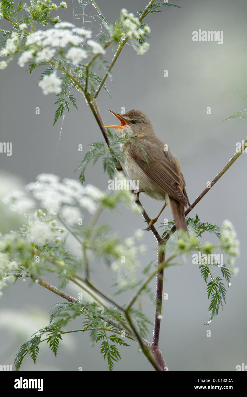 Marsh Warbler (Acrocephalus palustris) singing from flowering hemlock plant, Germany Stock Photo