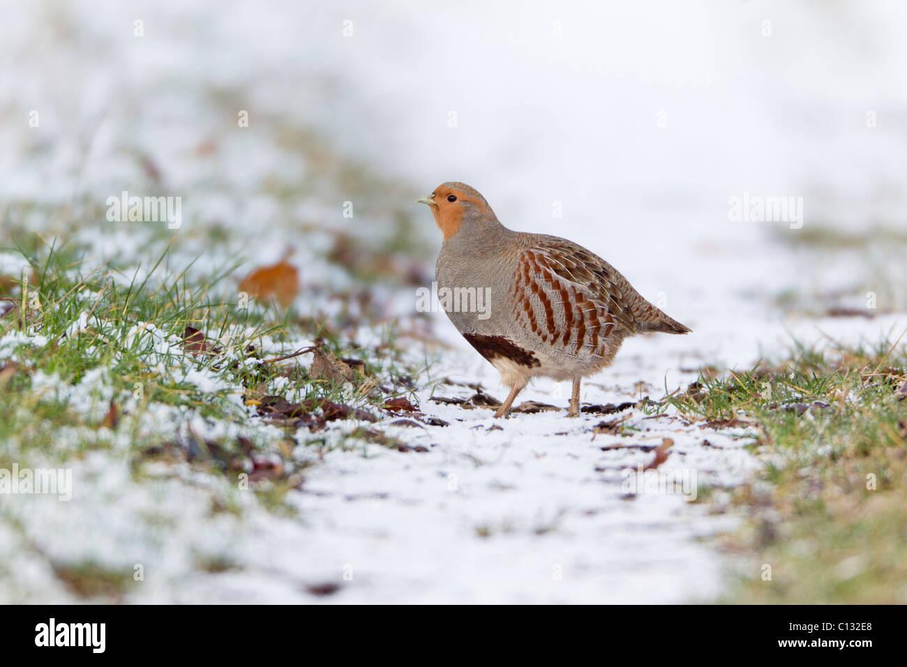 Grey Partridge (Perdix perdix), bird on field track in winter - Stock Image
