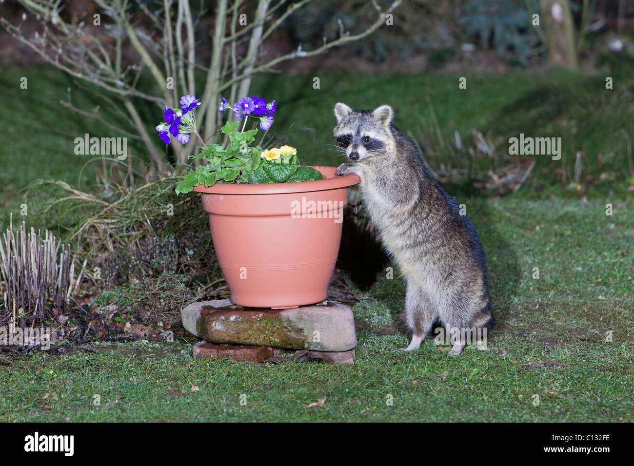 Raccoon (Procyon lotor), searching for food in garden plant pot - Stock Image