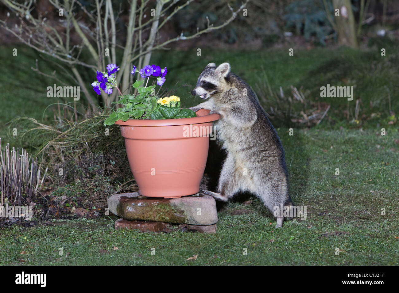 Raccoon (Procyon lotor), searching for food in plant pot - Stock Image