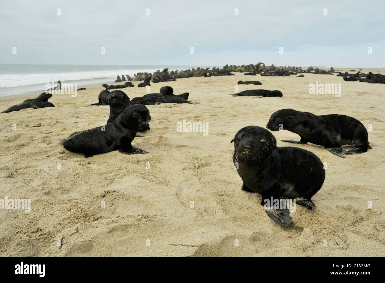 Scene of young baby Cape Fur Seal pups Arctocephalus pusilus on beach coast of Namibia Wildlife nature animals nursery - Stock Image