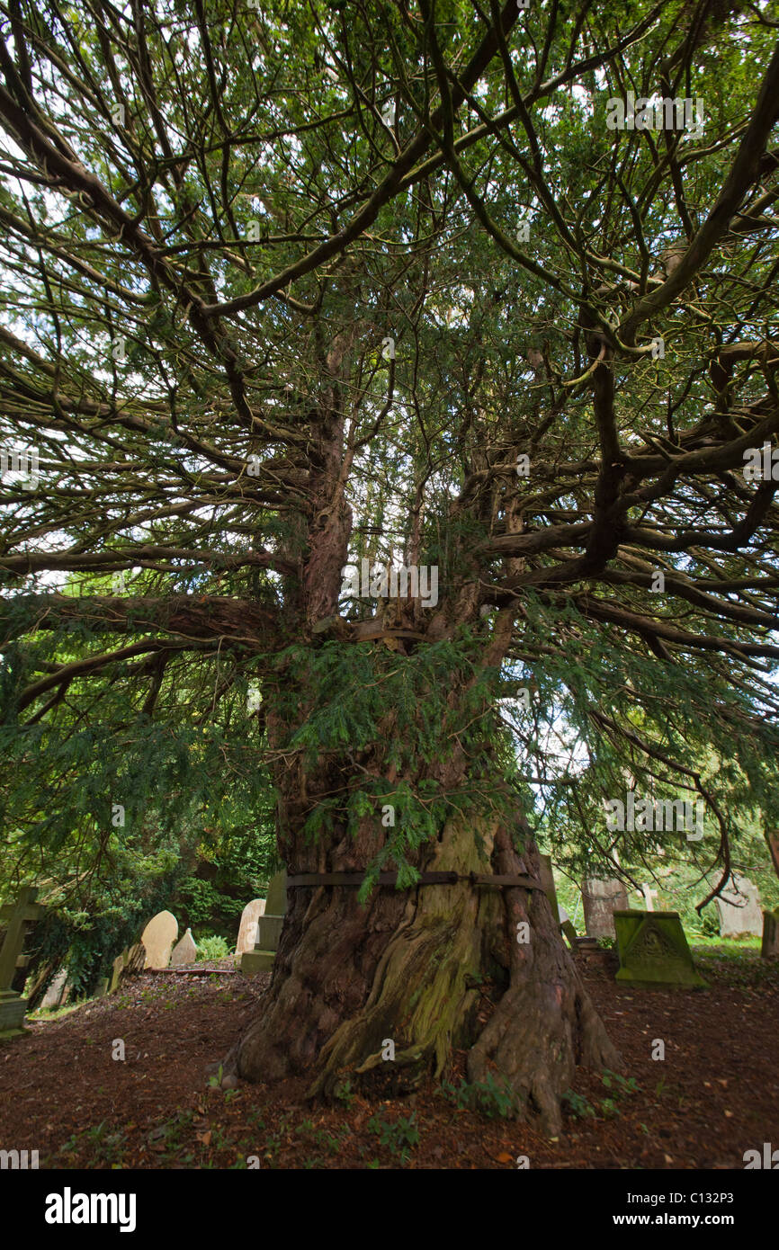 European Yew (Taxus baccata), ancient tree one thousand years old, Beltingham cemetery, Northumberland, England - Stock Image