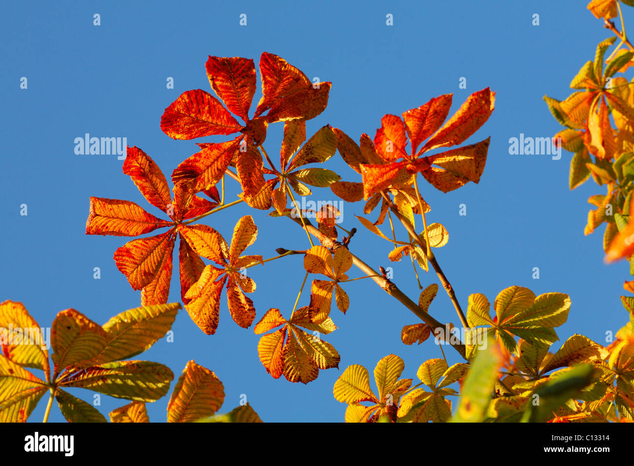 Autumn leaves of Horse Chestnut (Aesculus hippocastanum). Powys, Wales. October. - Stock Image