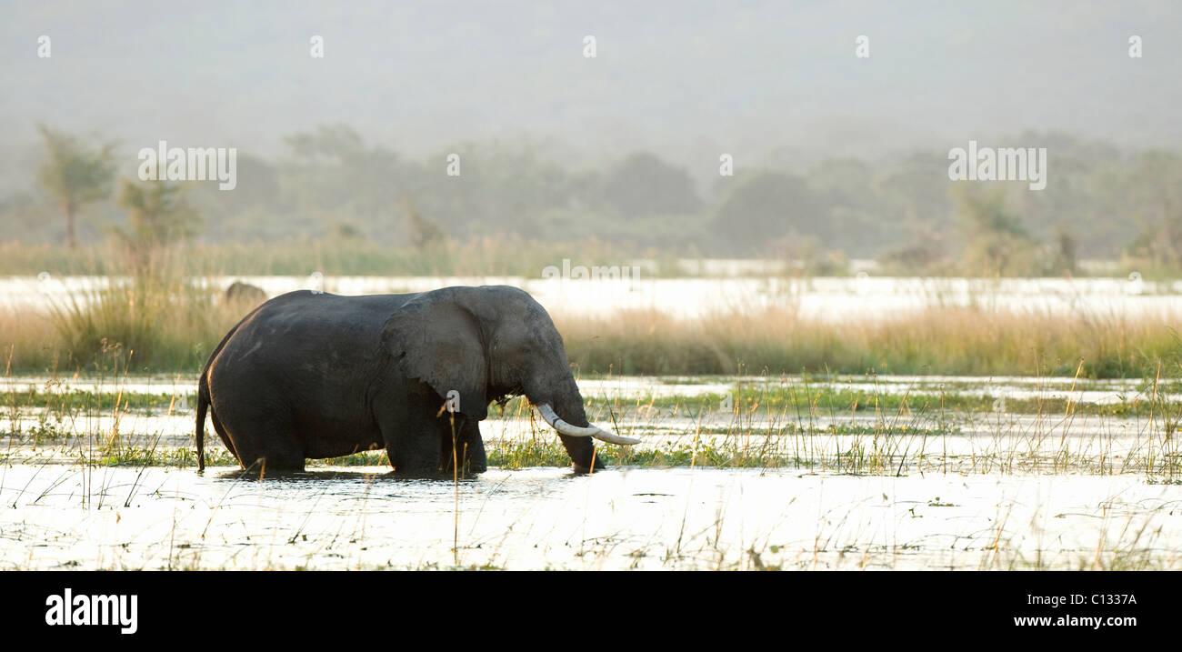 African Bush Elephant (Loxodonta africana) walking in water Mana Pools National Park, Zimbabwe Stock Photo