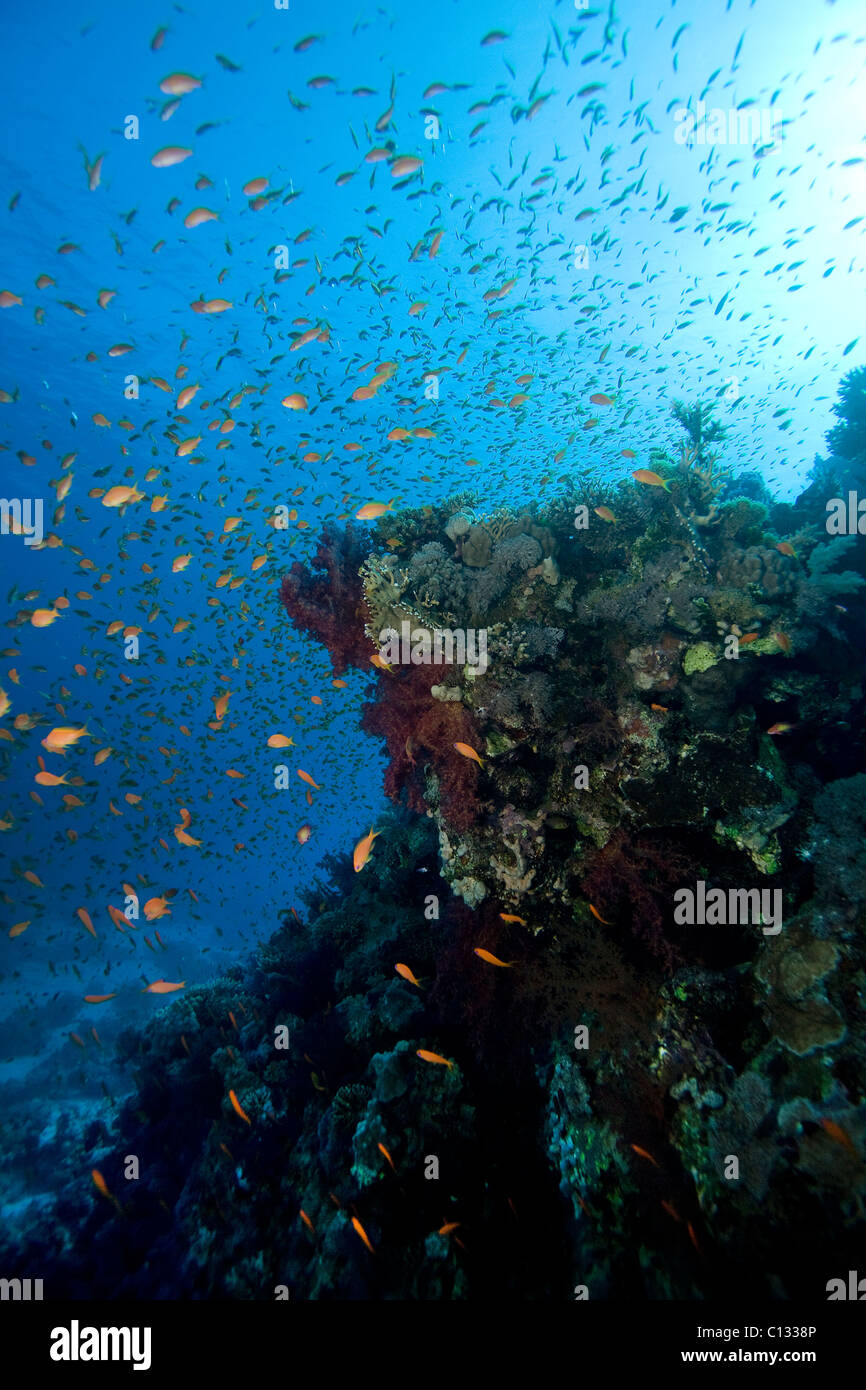 Coral outcrop and goldies, Stingray City, Sharm El Sheikh, Red Sea, Egypt - Stock Image