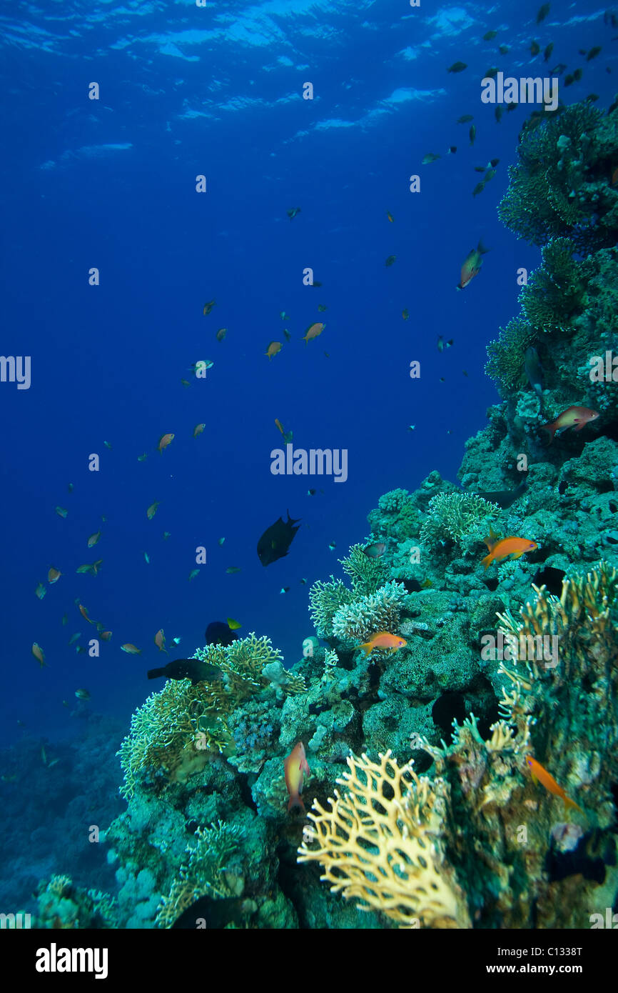 Coral outcrop, Stingray City, Sharm El Sheikh, Red Sea - Stock Image
