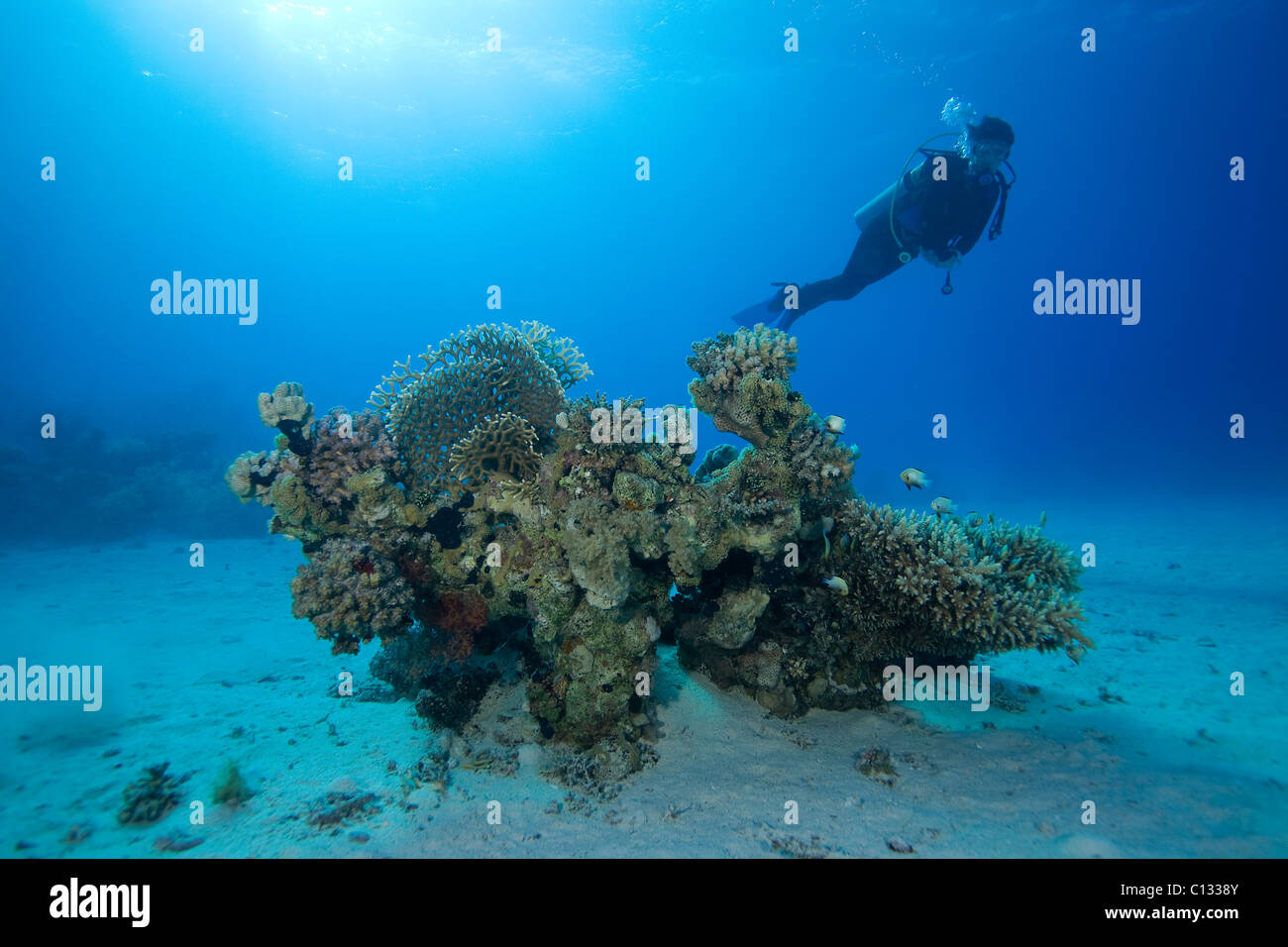 Coral bommie and diver, Stingray City, Sharm El Sheikh, Red Sea - Stock Image
