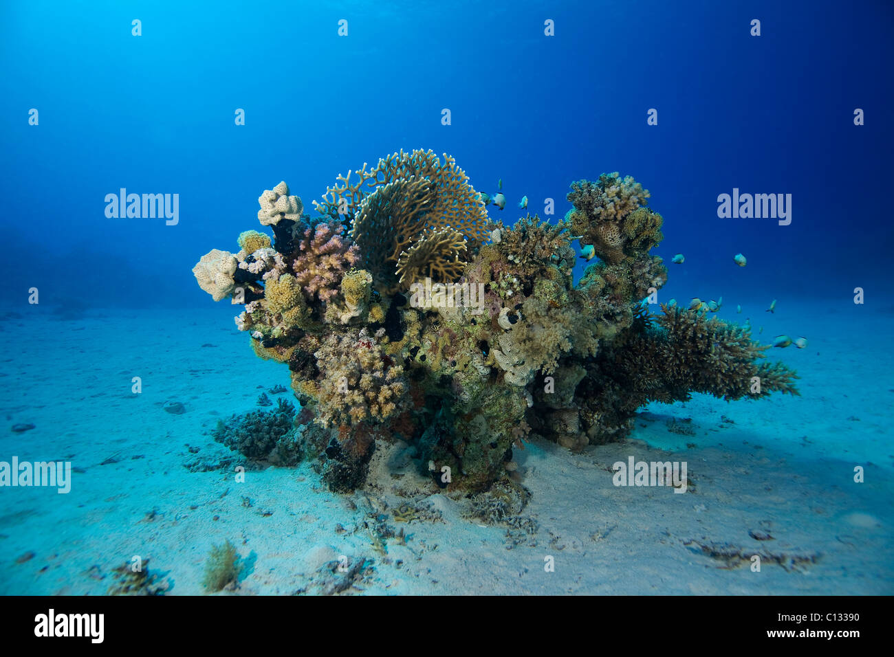 Coral bommie, Stingray City, Sharm El Sheikh, Red Sea - Stock Image