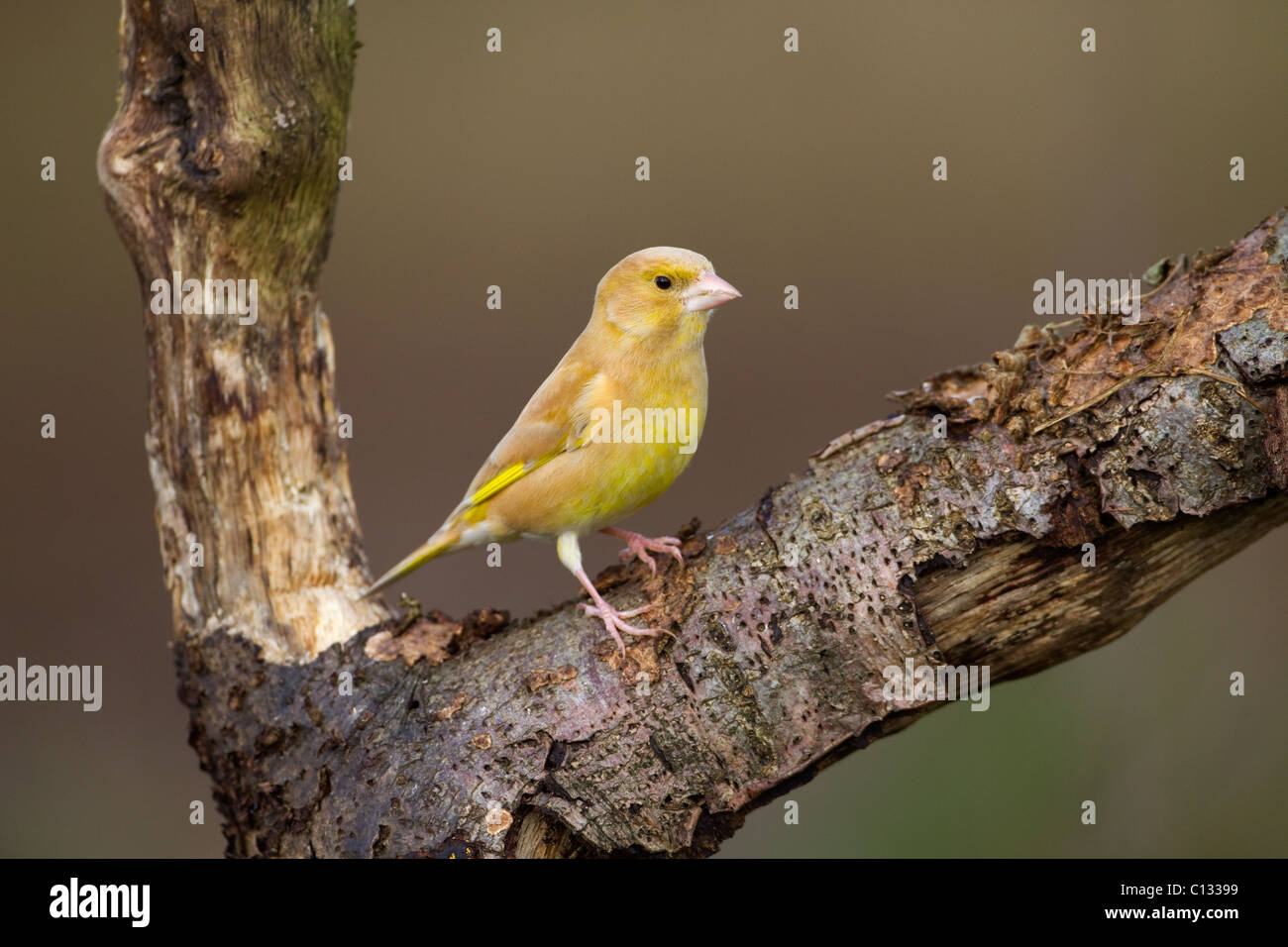 Green Finch Carduelis chloris abnormal feather variation - Stock Image
