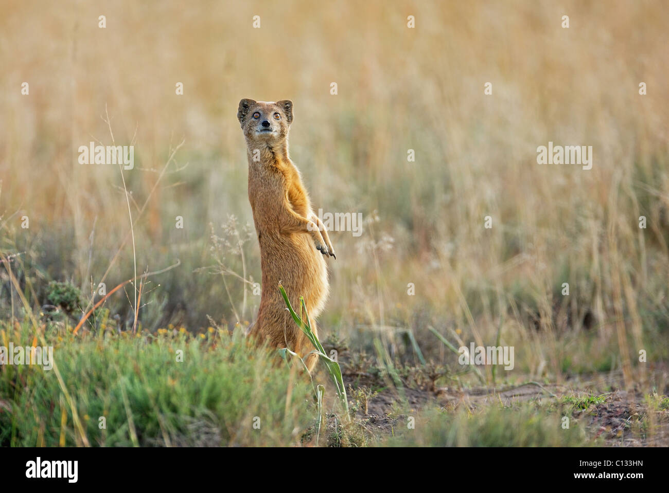 Yellow Mongoose (Cynictis penicillata) looks out for danger, Mountain Zebra National Park, Eastern Cape Province, - Stock Image