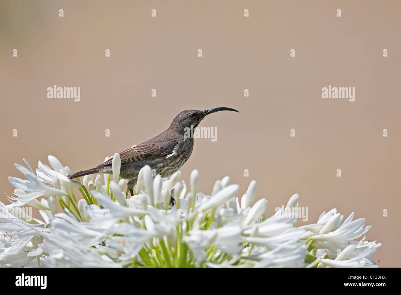 Female Greater Double-collared Sunbird Cinnyris afer feeding on Agapanthus flower in Outeniqua Mountains Western - Stock Image