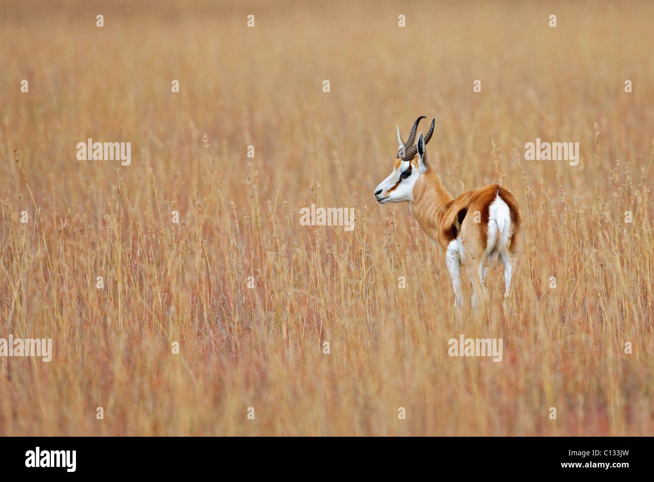 Springbok (Antidorcas marsupialis) looks out over plains, Mountain Zebra National Park, Eastern Cape Province, South - Stock Image