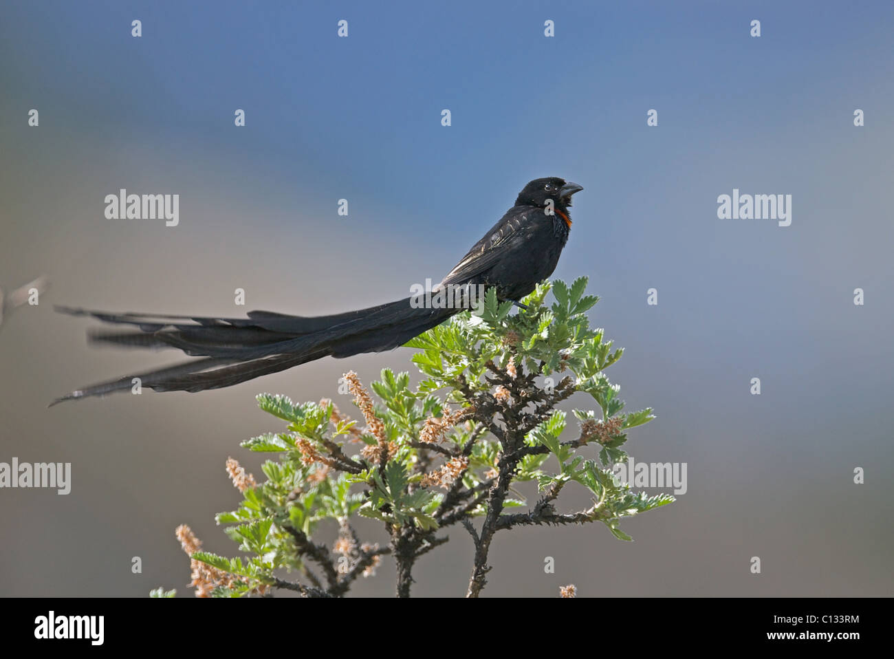 Red-collared Widowbird (Euplectes ardens) perching on bush in Wartrail district, Eastern Cape Province, South Africa - Stock Image
