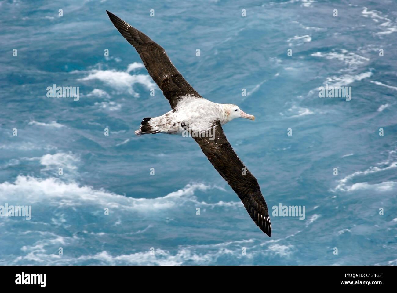Wandering Albatross in flight. - Stock Image