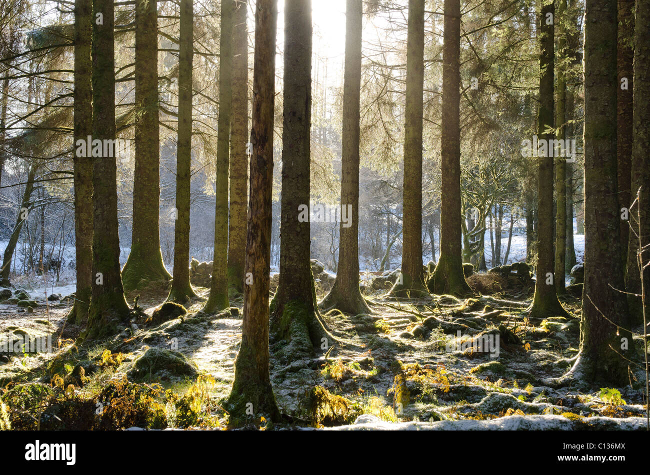 Radiant sun shining through trunks of mature pine forest in misty and frosty conditions - Stock Image
