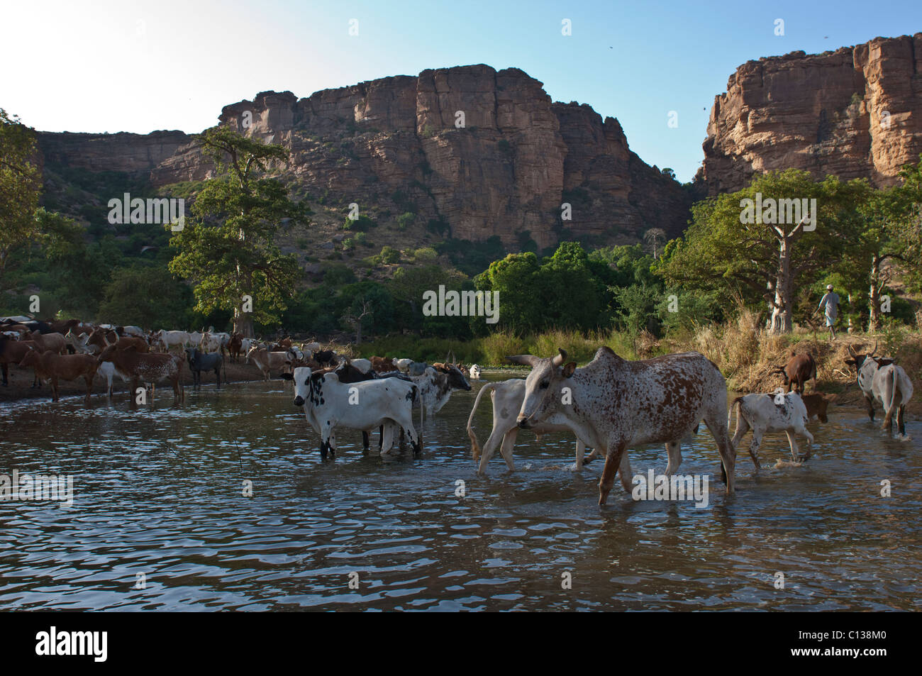 Cows drinking from the remaining water of a dried up river near Nombori village. Pays Dogon, Mali. - Stock Image