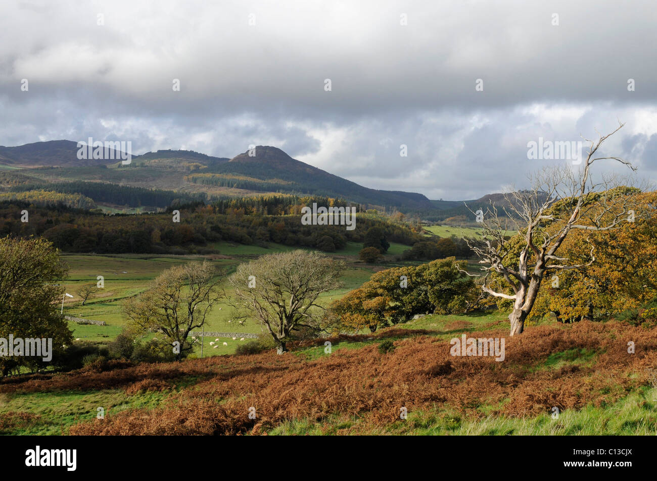 Oak trees in Autumn with Screel Hill - Stock Image
