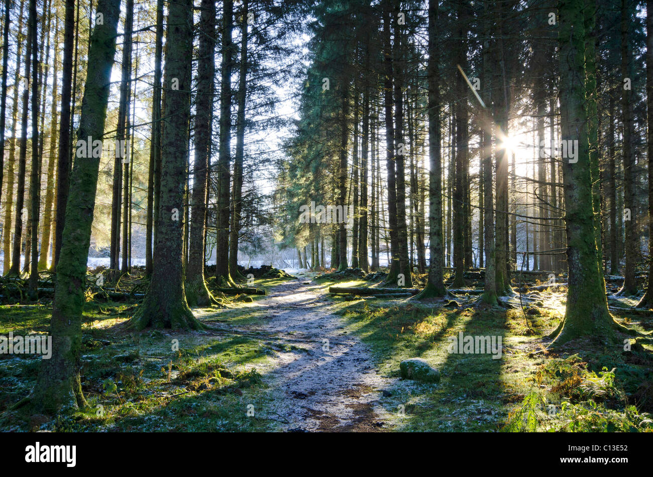 Sun streaming through mature conifer plantation in frosty conditions - Stock Image